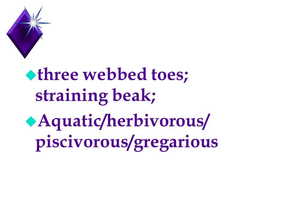 u three webbed toes; straining beak; u Aquatic/herbivorous/ piscivorous/gregarious