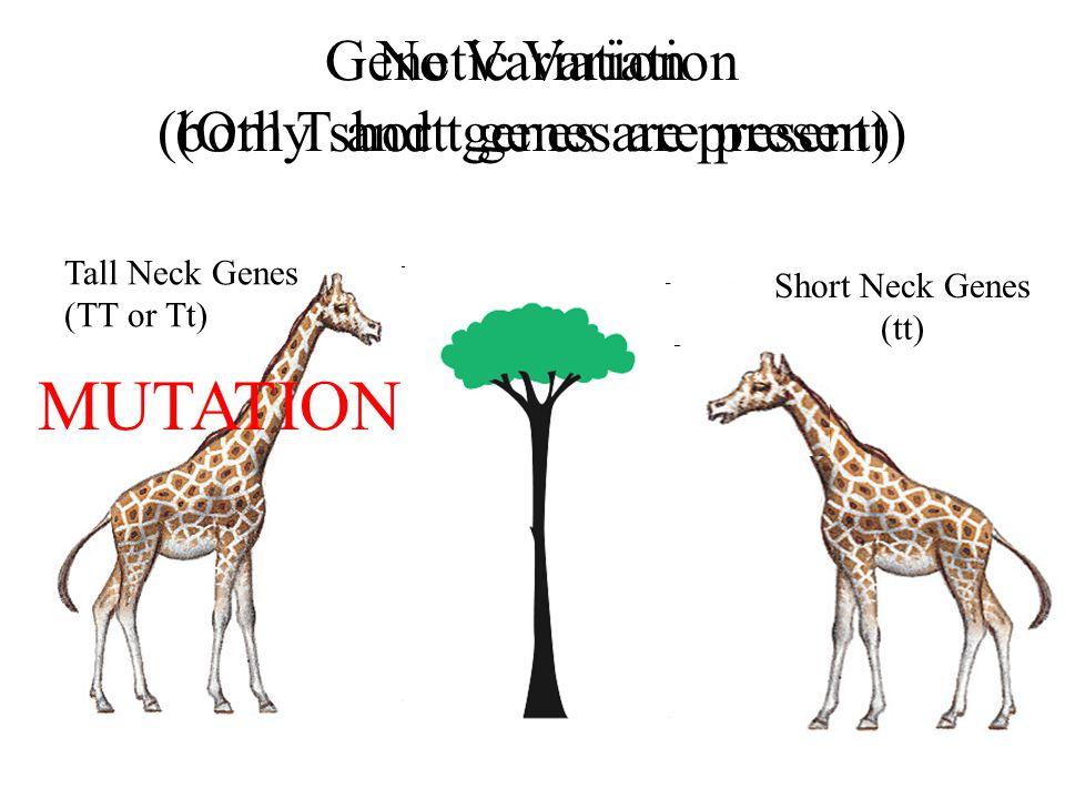 Tall Neck Genes (TT or Tt) Short Neck Genes (tt) DIES