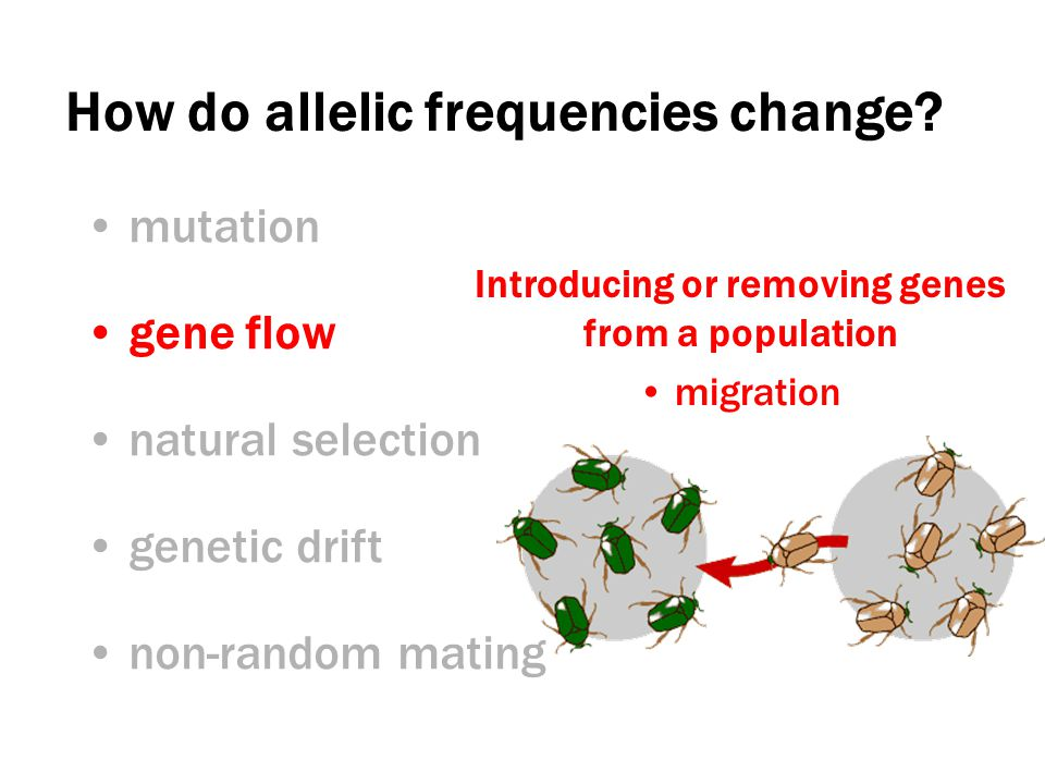 migration Introducing or removing genes from a population How do allelic frequencies change.