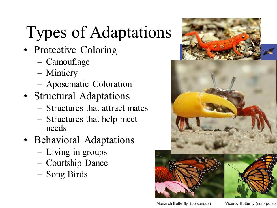 Types of Adaptations Protective Coloring –Camouflage –Mimicry –Aposematic Coloration Structural Adaptations –Structures that attract mates –Structures that help meet needs Behavioral Adaptations –Living in groups –Courtship Dance –Song Birds