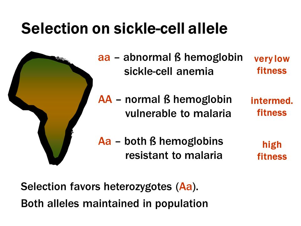 Selection on sickle-cell allele aa – abnormal ß hemoglobin sickle-cell anemia very low fitness intermed.