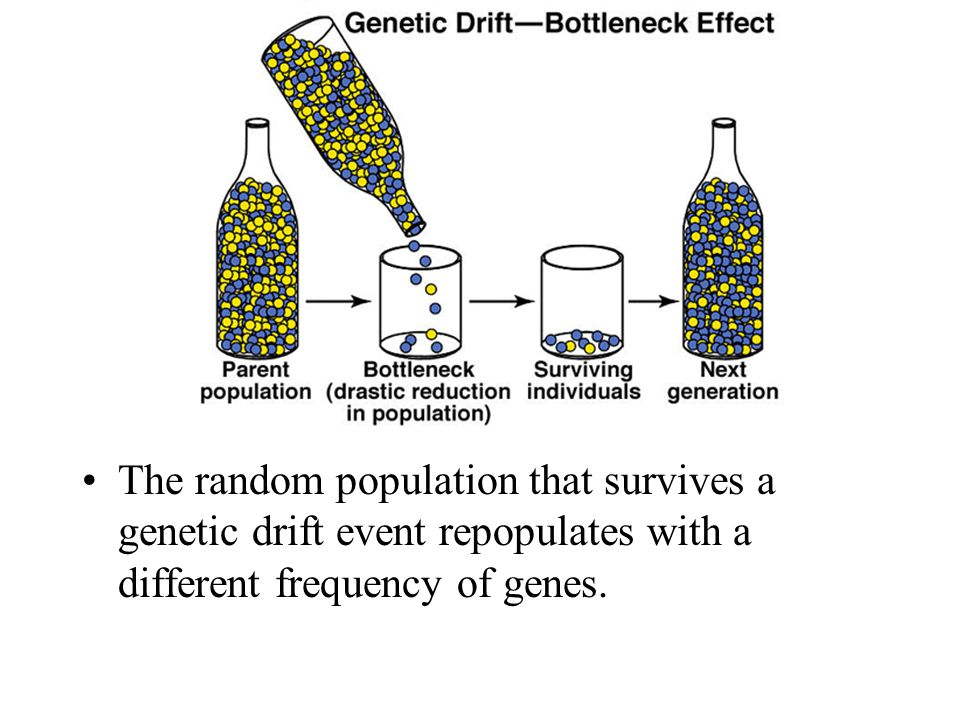 The random population that survives a genetic drift event repopulates with a different frequency of genes.