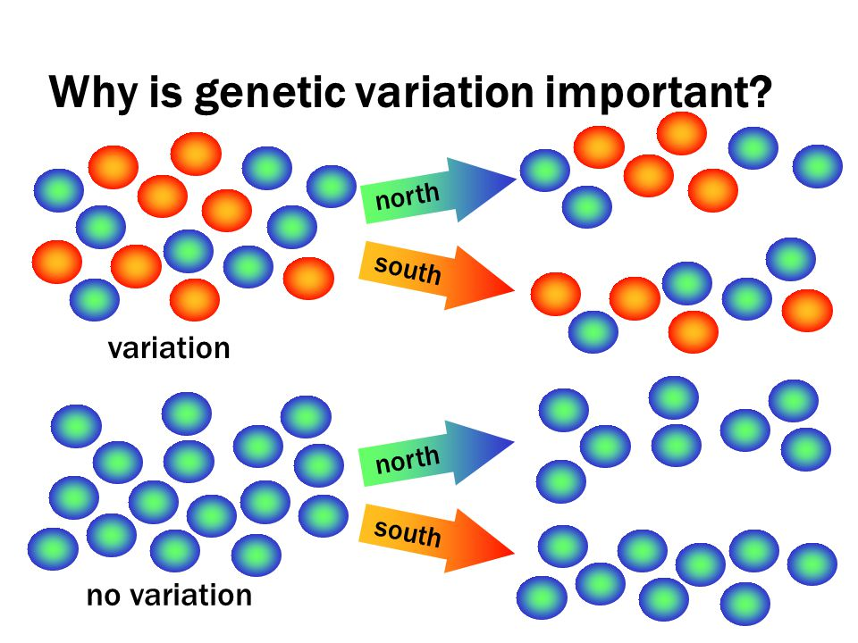 Why is genetic variation important variation no variation north south north south