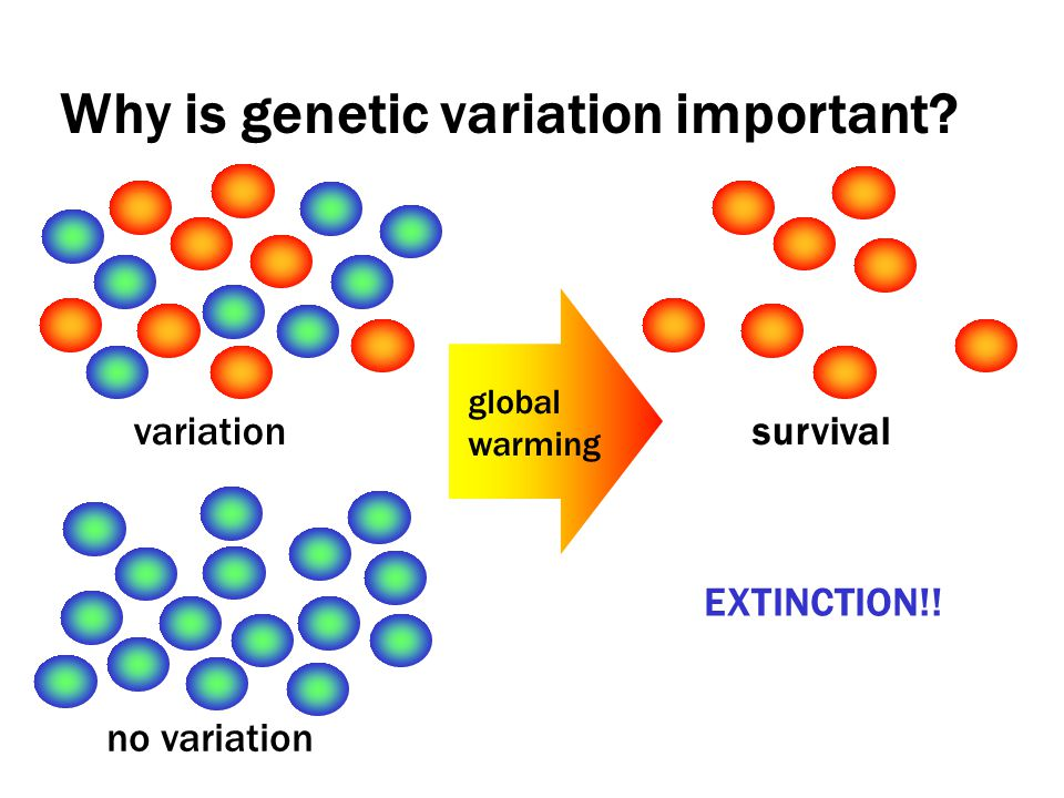 Why is genetic variation important? EXTINCTION!! variation no variation global warming survival
