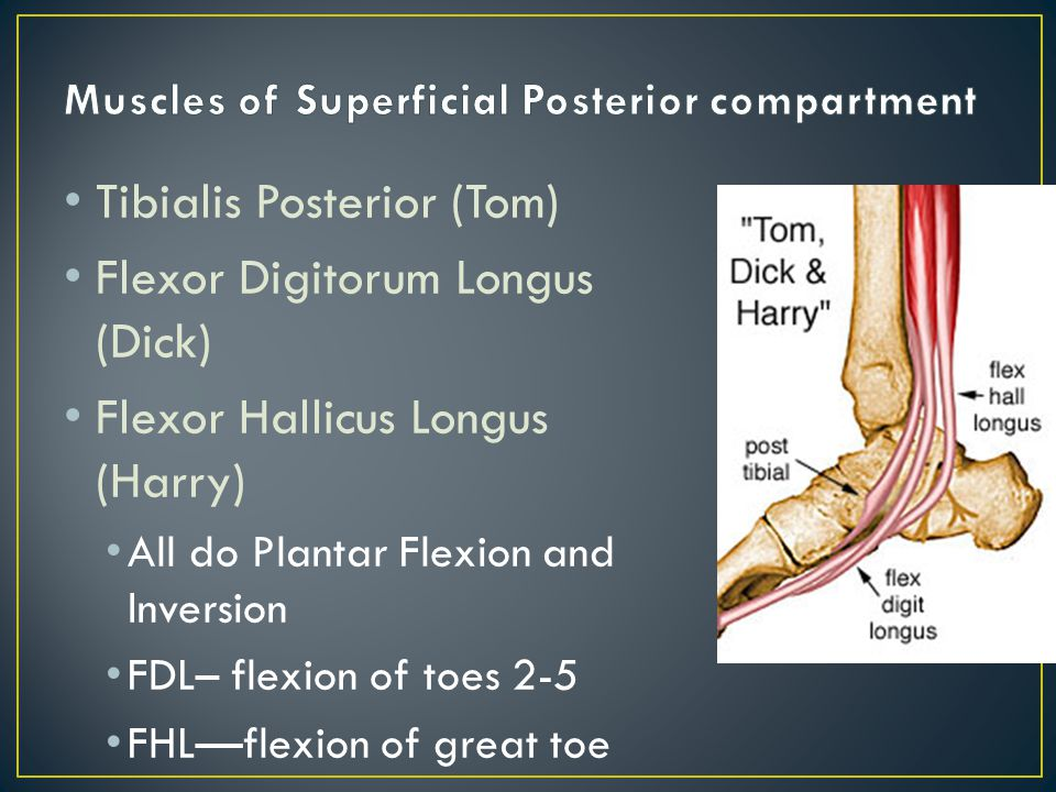 Tibialis Posterior (Tom) Flexor Digitorum Longus (Dick) Flexor Hallicus Longus (Harry) All do Plantar Flexion and Inversion FDL– flexion of toes 2-5 FHL—flexion of great toe