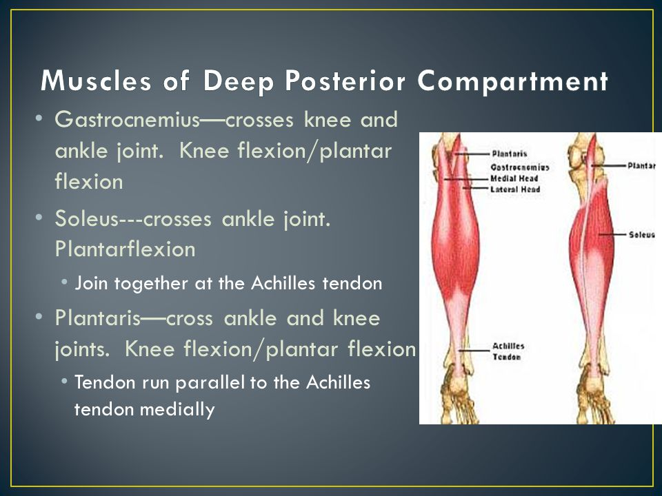 Gastrocnemius—crosses knee and ankle joint.