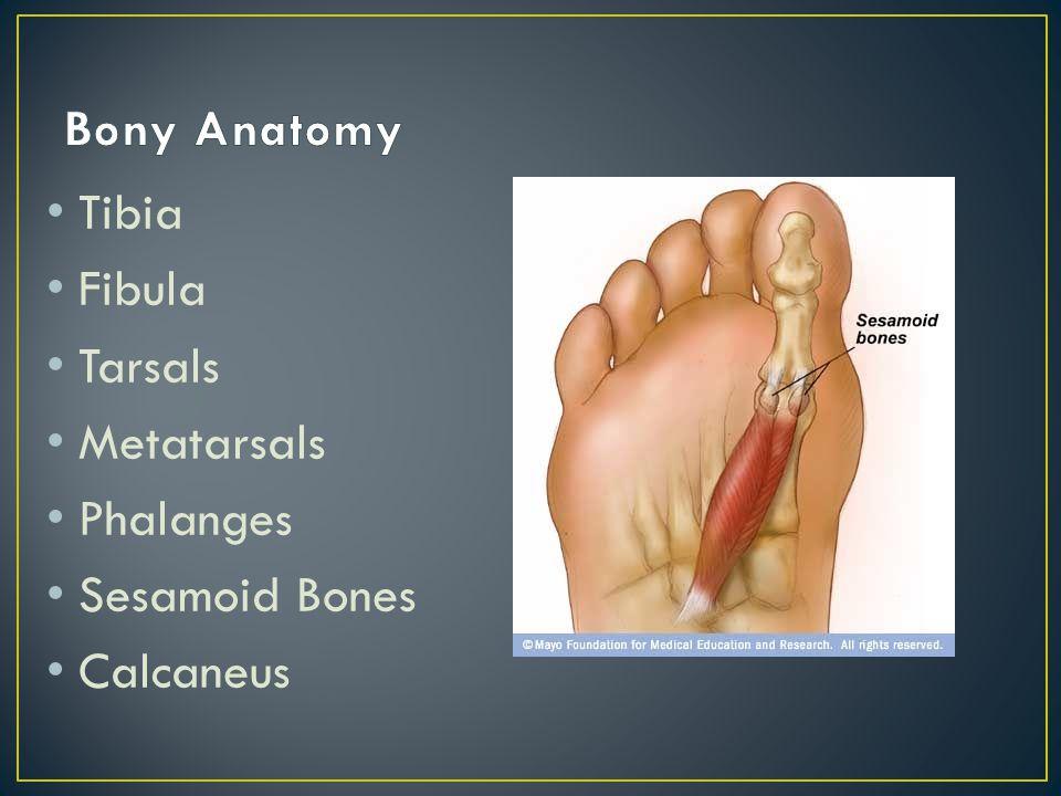 Tibia Fibula Tarsals Metatarsals Phalanges Sesamoid Bones Calcaneus
