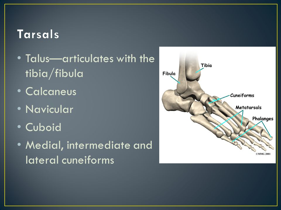 Talus—articulates with the tibia/fibula Calcaneus Navicular Cuboid Medial, intermediate and lateral cuneiforms