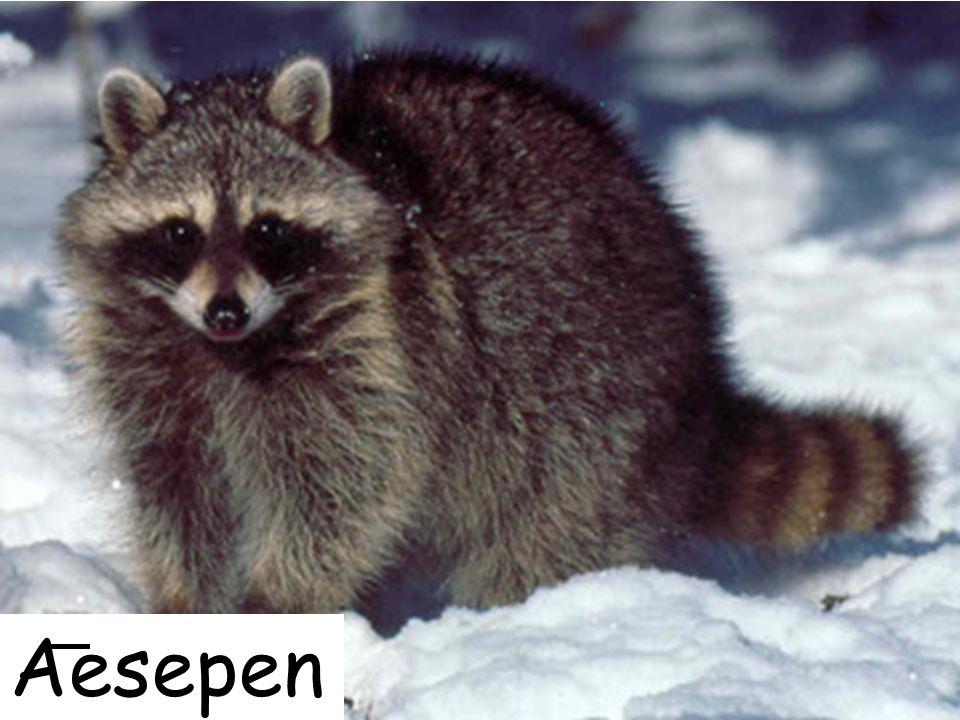 Aesepen