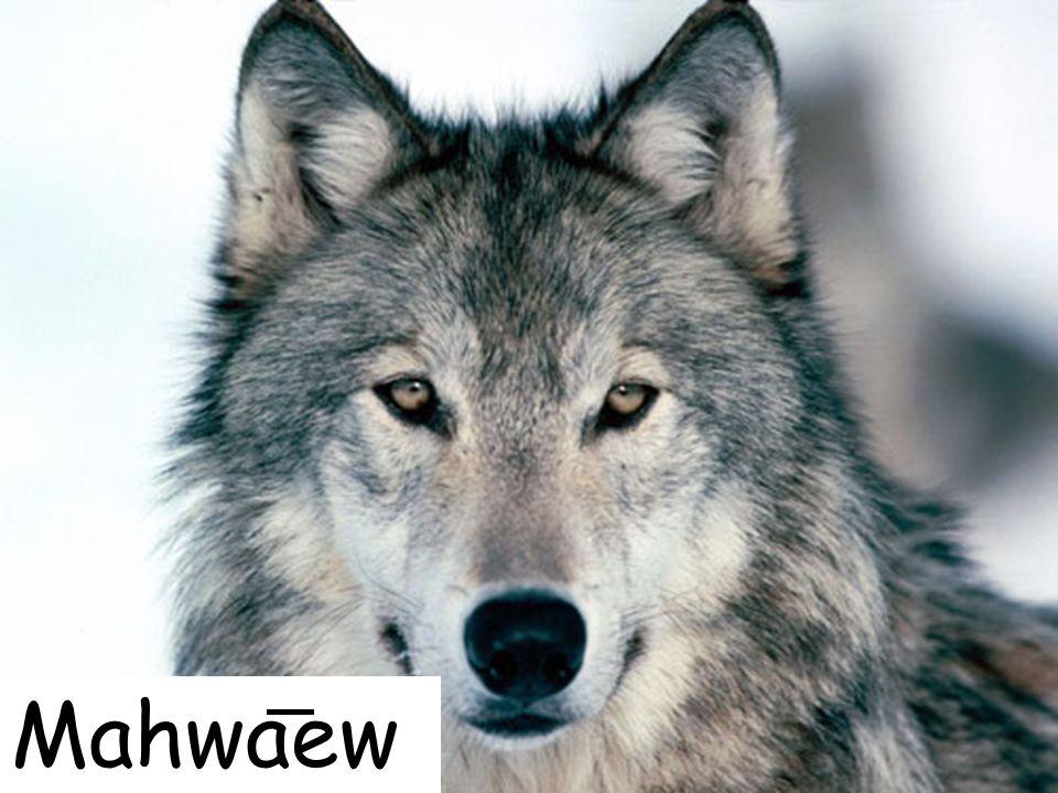 Mahwaew