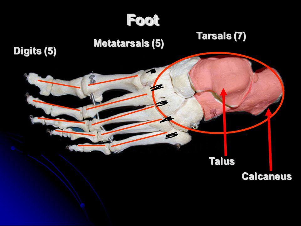 FootFoot Tarsals (7) Metatarsals (5) Calcaneus Talus Digits (5)