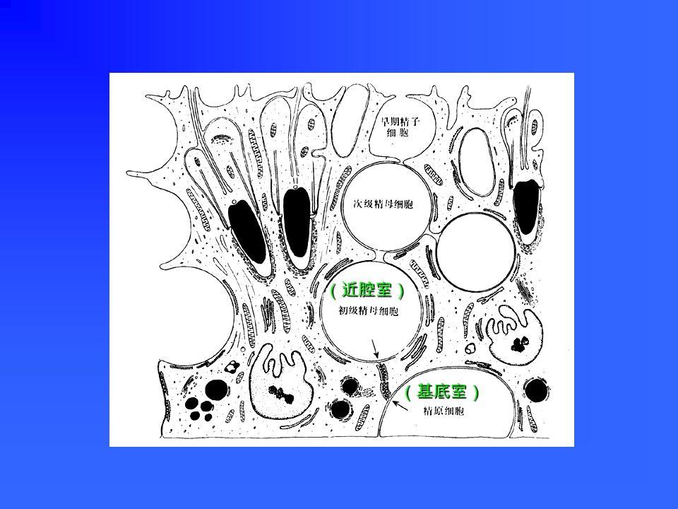 LM :大,从生精小管基底直达腔面;细胞轮 廓不清,核三角或不规则形,染色浅,核仁 明显。 LM :大,从生精小管基底直达腔面;细胞轮 廓不清,核三角或不规则形,染色浅,核仁 明显。 EM :各种细胞器丰富,有大量滑面内质网、 溶酶体、糖原和脂滴;基部侧面有紧密连接。 EM :各种细胞器丰富,有大量滑面内质网、 溶酶体、糖原和脂滴;基部侧面有紧密连接。 支持细胞 sustentacular cell