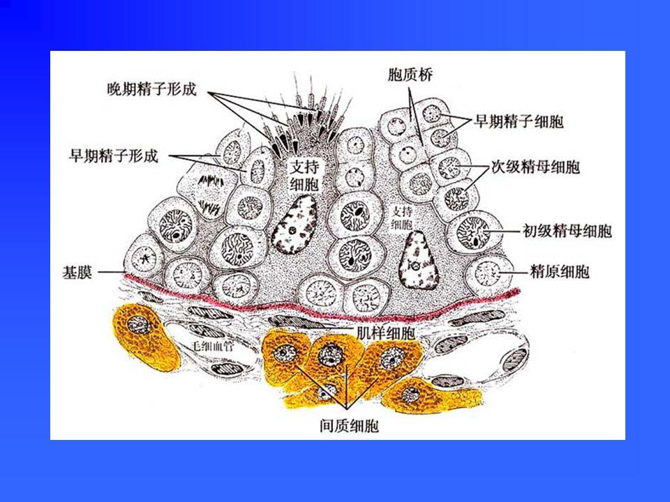 血-睾屏障( blood-testis barrier ) 组成:①血管内皮及基膜②结缔组织③生精上皮基膜④支持细胞的紧密连接功能: ①防止某些物质进入生精小管,维持精子发育 微环境。 ②防止精子抗原外逸,引发自身免疫。