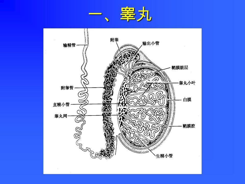 一、睾丸二、生殖管道三、附属腺