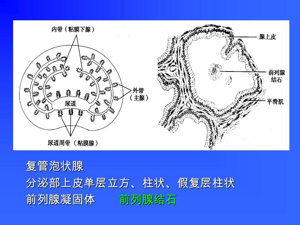 三、附属腺 包括前列腺、精囊和尿道球腺。 具有分泌功能,其分泌物与生殖管道的 分泌物共同组成精液的液体部分。 精液呈乳白色弱碱性液体,由精子与生殖管道及 其附属腺的分泌物混合而成。正常每次射精量约 3 - 5ml ,含精子 1 - 2 亿个。