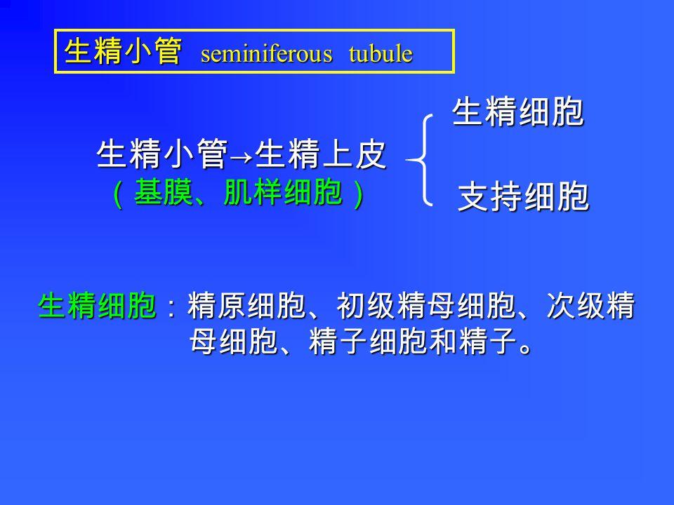 (一)生精小管 (一)生精小管 1. 生精细胞 1. 生精细胞 2. 支持细胞 2. 支持细胞 (二)睾丸间质 (二)睾丸间质 (三)直精小管和睾丸网 (三)直精小管和睾丸网