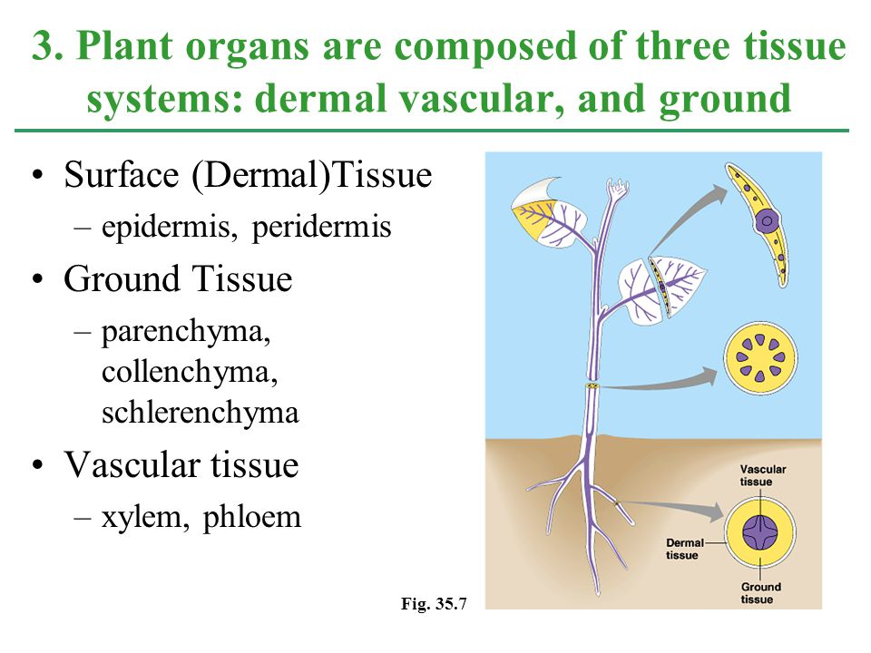 Surface (Dermal)Tissue –epidermis, peridermis Ground Tissue –parenchyma, collenchyma, schlerenchyma Vascular tissue –xylem, phloem 3. Plant organs are