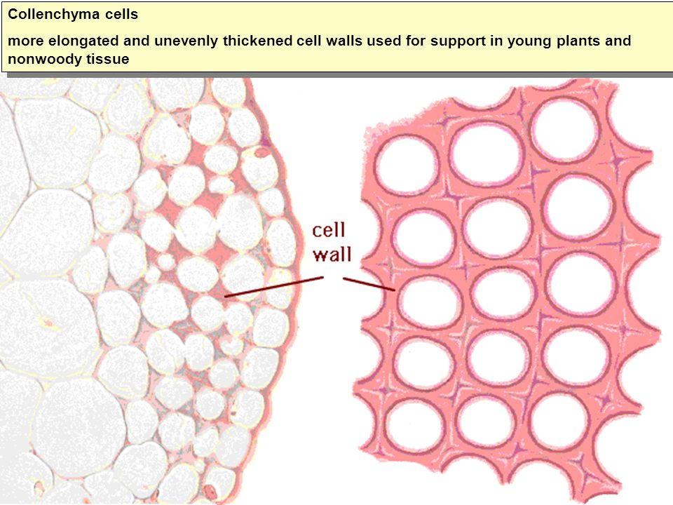 Collenchyma cells more elongated and unevenly thickened cell walls used for support in young plants and nonwoody tissue Collenchyma cells more elongat