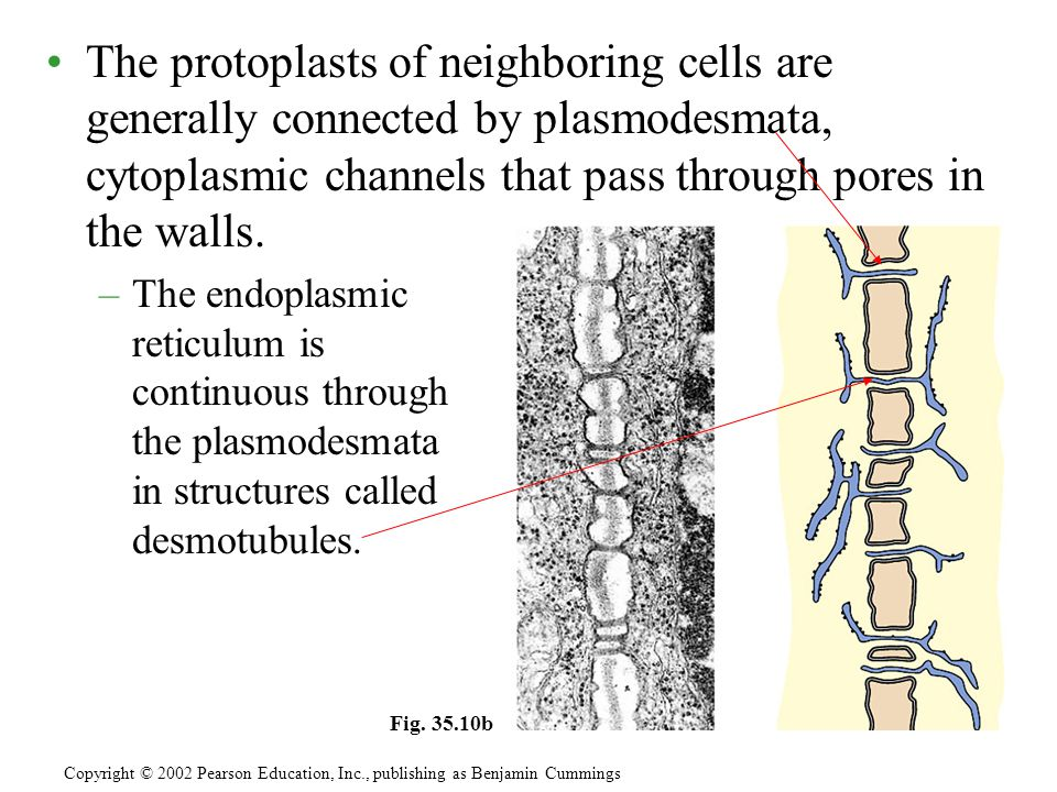 The protoplasts of neighboring cells are generally connected by plasmodesmata, cytoplasmic channels that pass through pores in the walls. –The endopla