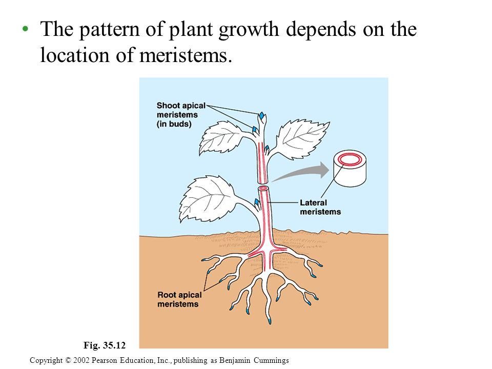 The pattern of plant growth depends on the location of meristems. Copyright © 2002 Pearson Education, Inc., publishing as Benjamin Cummings Fig. 35.12