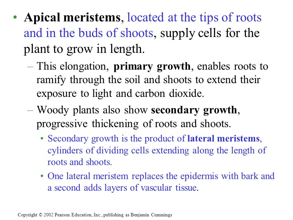 Apical meristems, located at the tips of roots and in the buds of shoots, supply cells for the plant to grow in length. –This elongation, primary grow