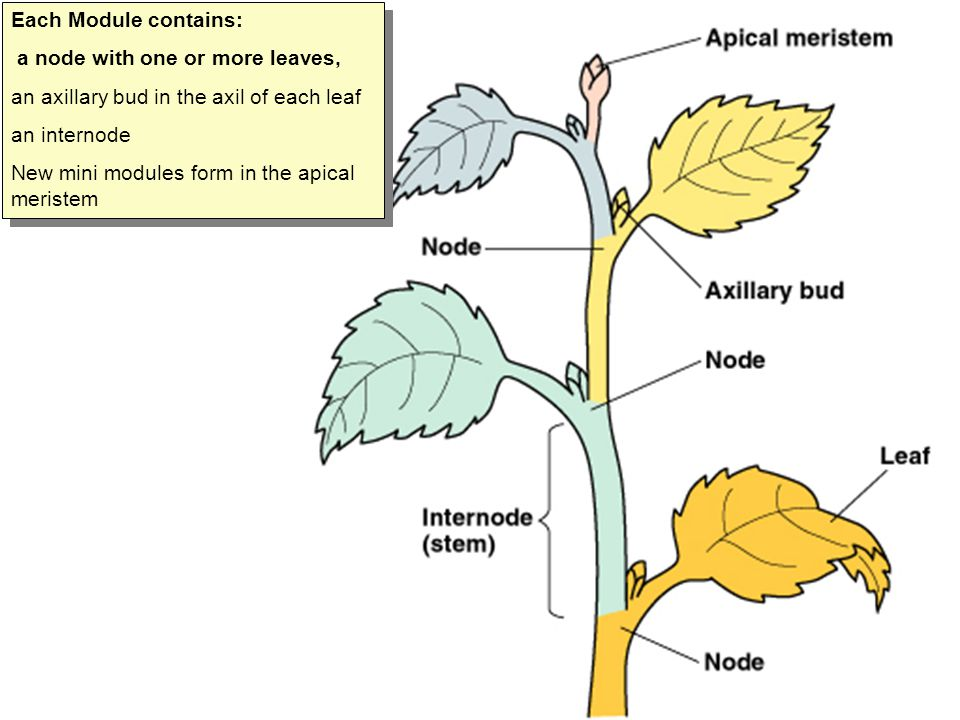 Each Module contains: a node with one or more leaves, an axillary bud in the axil of each leaf an internode New mini modules form in the apical merist