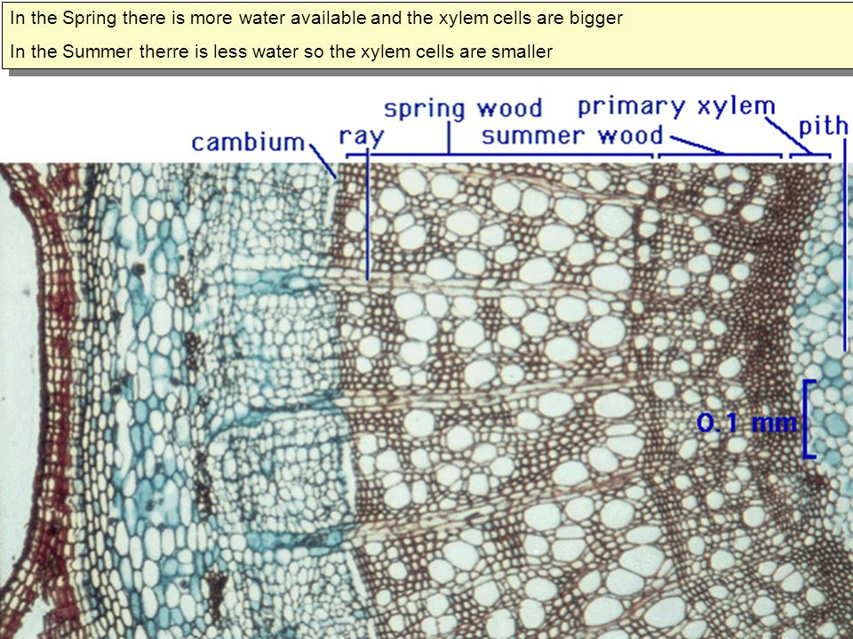 In the Spring there is more water available and the xylem cells are bigger In the Summer therre is less water so the xylem cells are smaller In the Sp
