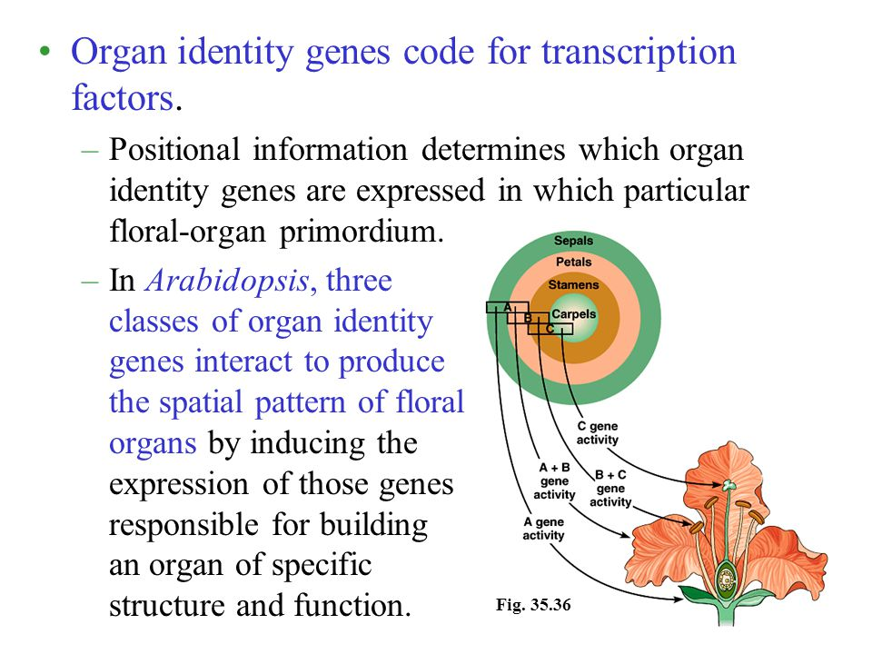 Organ identity genes code for transcription factors. –Positional information determines which organ identity genes are expressed in which particular f