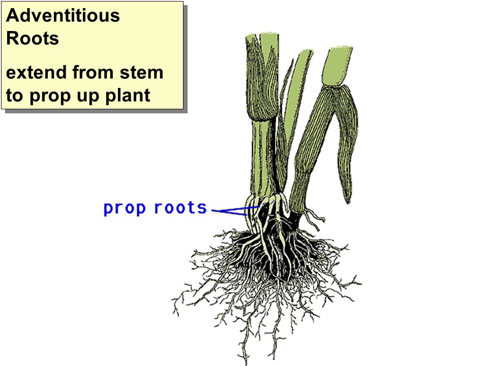 Adventitious Roots extend from stem to prop up plant Adventitious Roots extend from stem to prop up plant