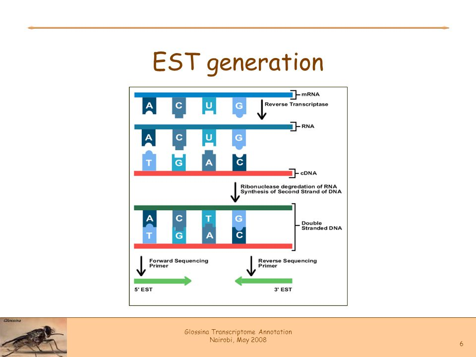 Glossina Transcriptome Annotation Nairobi, May 2008 6 EST generation