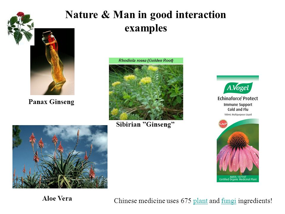 Panax Ginseng Sibirian Ginseng Nature & Man in good interaction examples Aloe Vera Chinese medicine uses 675 plant and fungi ingredients!plantfungi