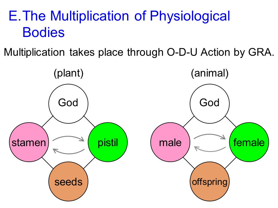 E.The Multiplication of Physiological Bodies Multiplication takes place through O-D-U Action by GRA.
