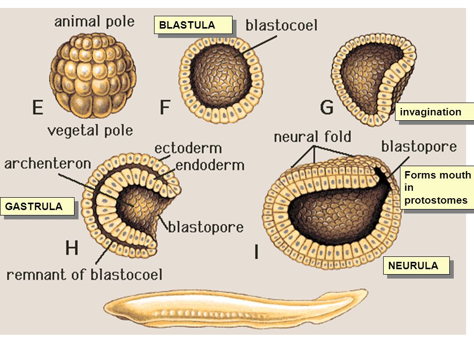 BLASTULA invagination GASTRULA NEURULA Forms mouth in protostomes