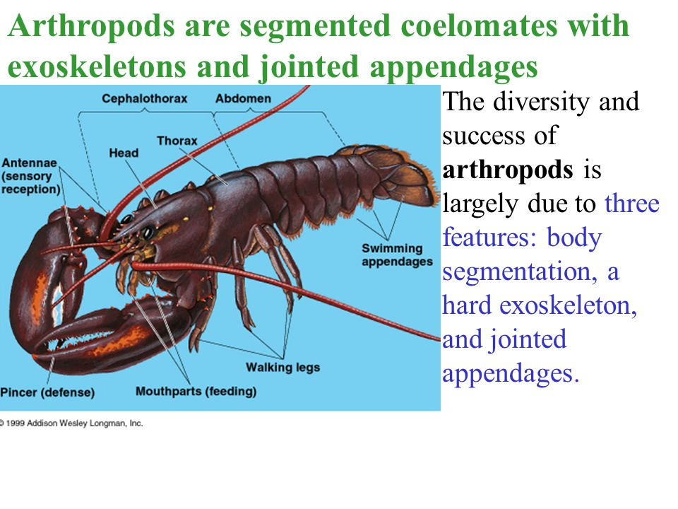 Arthropods are segmented coelomates with exoskeletons and jointed appendages The diversity and success of arthropods is largely due to three features: