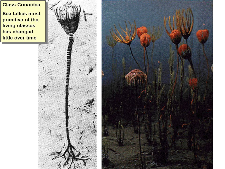 Class Crinoidea Sea Lillies most primitive of the living classes has changed little over time Class Crinoidea Sea Lillies most primitive of the living