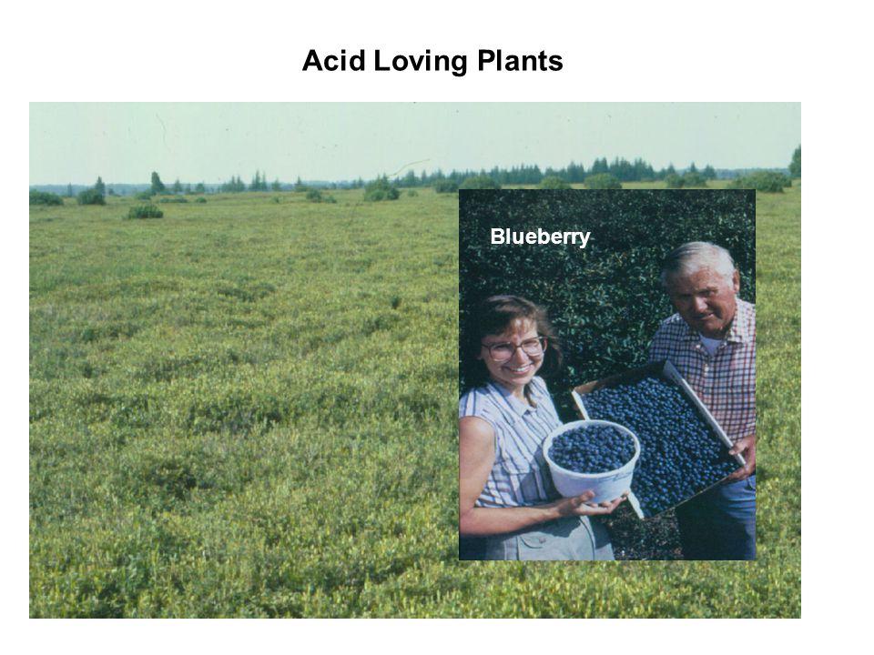 Acid Loving Plants Blueberry