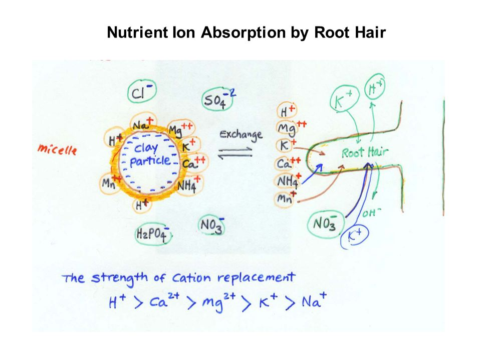 Nutrient Ion Absorption by Root Hair