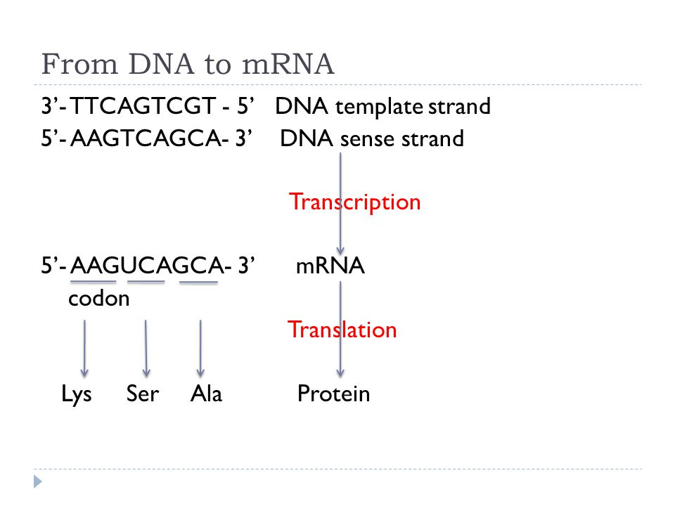 From DNA to mRNA 3'- TTCAGTCGT - 5' DNA template strand 5'- AAGTCAGCA- 3' DNA sense strand Transcription 5'- AAGUCAGCA- 3' mRNA codon Translation Lys Ser Ala Protein