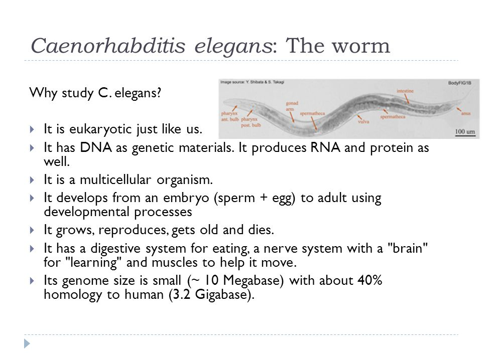 Caenorhabditis elegans : The worm Why study C. elegans.