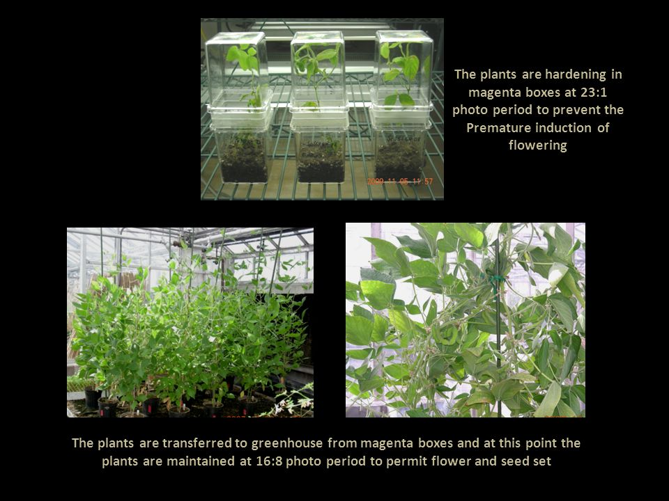 The plants are hardening in magenta boxes at 23:1 photo period to prevent the Premature induction of flowering The plants are transferred to greenhouse from magenta boxes and at this point the plants are maintained at 16:8 photo period to permit flower and seed set