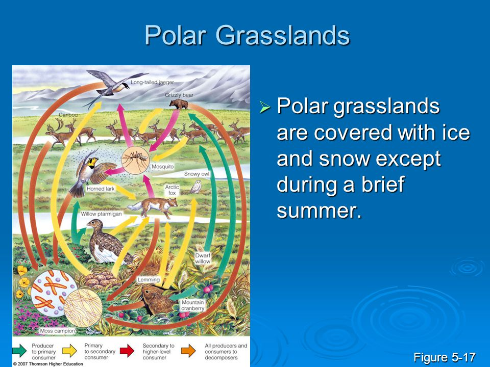 Polar Grasslands  Polar grasslands are covered with ice and snow except during a brief summer. Figure 5-17