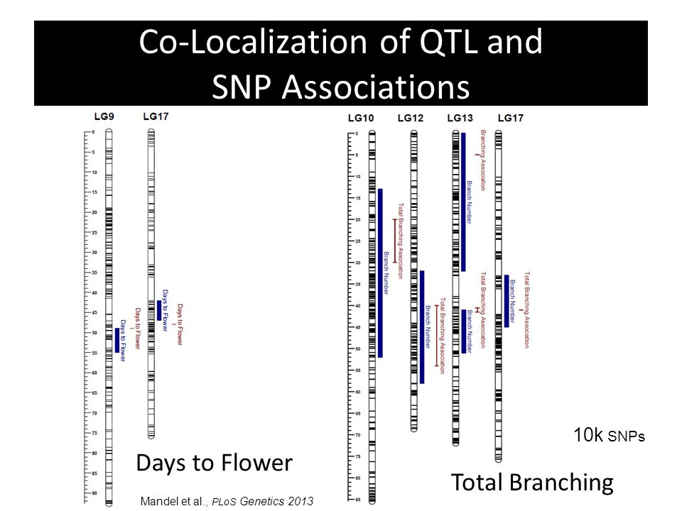 Co-Localization of QTL and SNP Associations Days to Flower Total Branching Mandel et al., PLoS Genetics 2013 10k SNPs