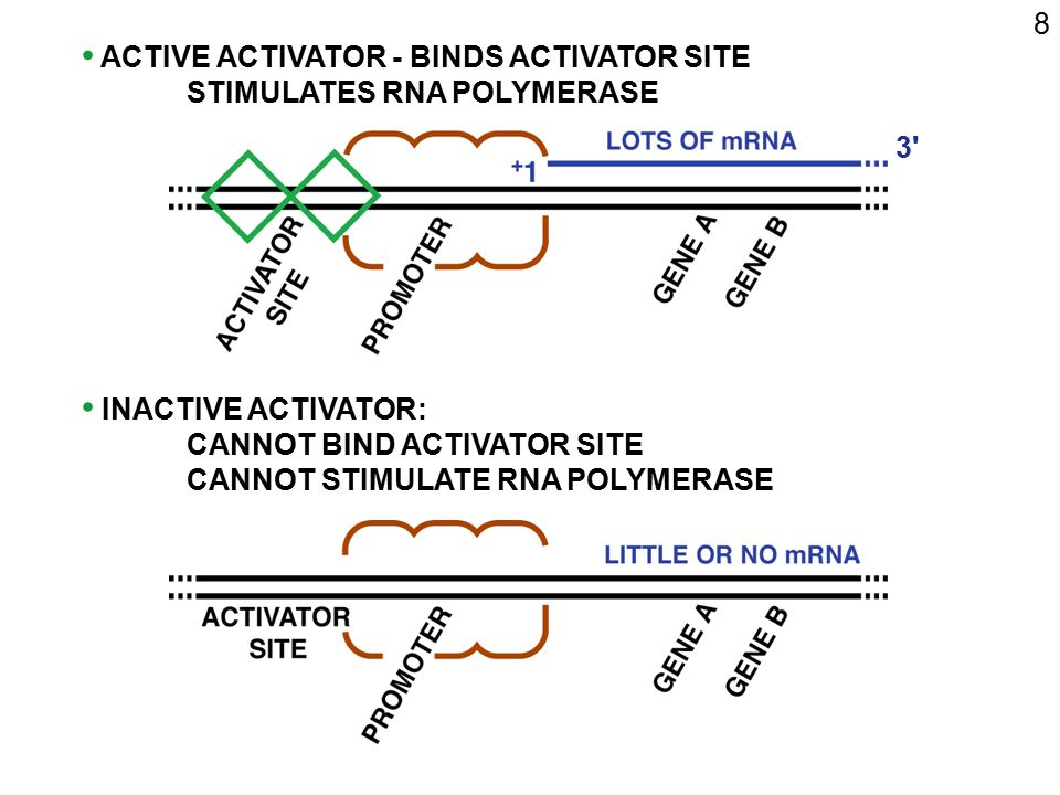 8 ACTIVE ACTIVATOR - BINDS ACTIVATOR SITE STIMULATES RNA POLYMERASE INACTIVE ACTIVATOR: CANNOT BIND ACTIVATOR SITE CANNOT STIMULATE RNA POLYMERASE 3'