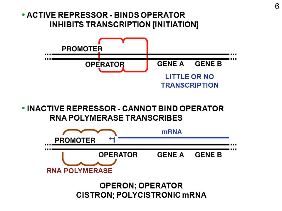 7 ACTIVATOR PROTEINS CONTROL POSITIVELY ACTIVATOR BINDING SITE PROMOTER ACTIVATOR PROTEIN GENE 5 3 5 3 ACTIVATOR mRNA ACTIVATOR ACTIVE/INACTIVE DEPENDS ON ENVIRONMENT