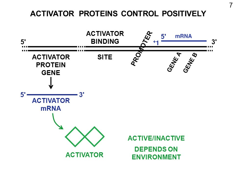 8 ACTIVE ACTIVATOR - BINDS ACTIVATOR SITE STIMULATES RNA POLYMERASE INACTIVE ACTIVATOR: CANNOT BIND ACTIVATOR SITE CANNOT STIMULATE RNA POLYMERASE 3