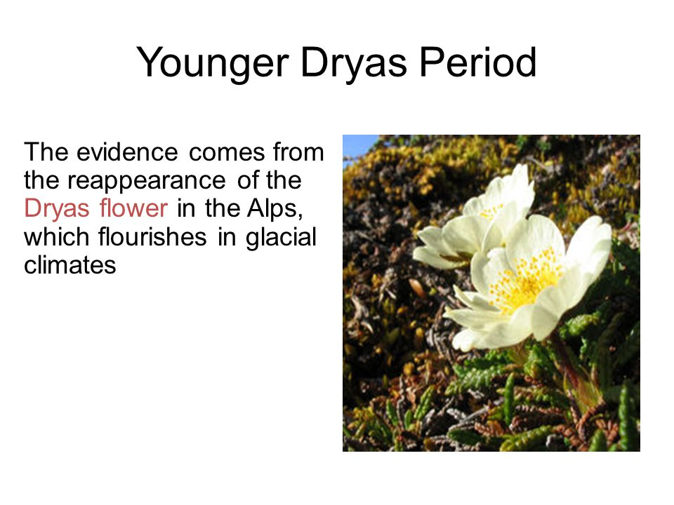 Younger Dryas Period The evidence comes from the reappearance of the Dryas flower in the Alps, which flourishes in glacial climates