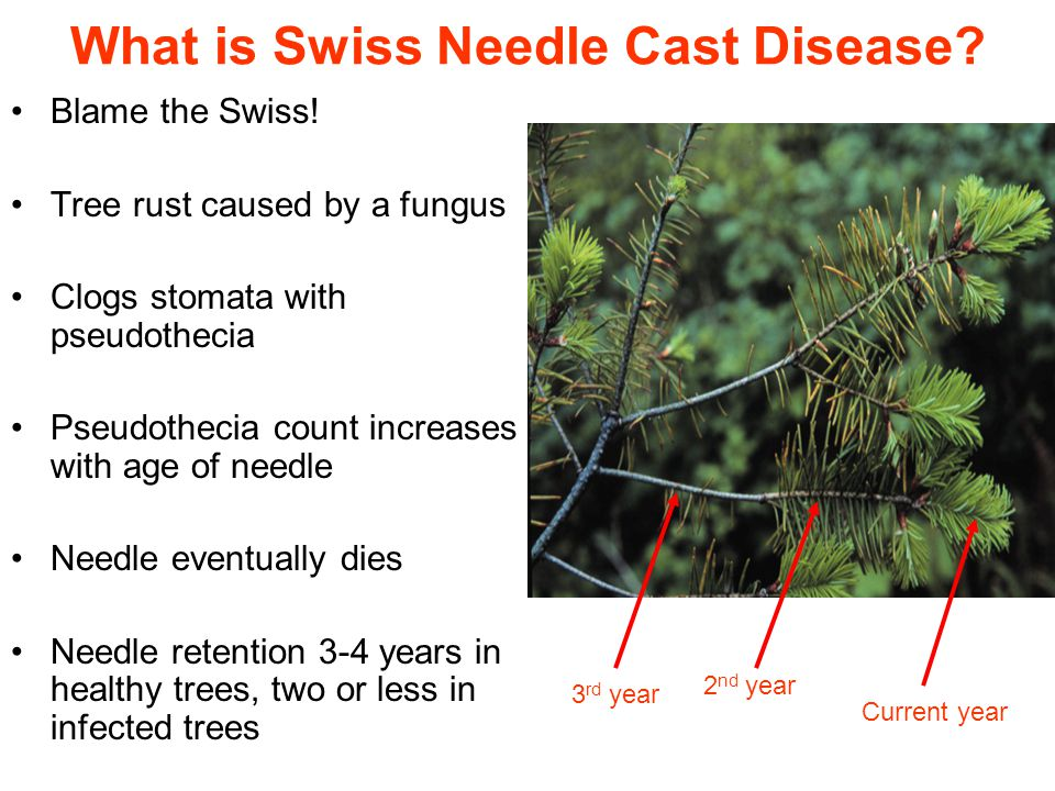 What is Swiss Needle Cast Disease. Blame the Swiss.