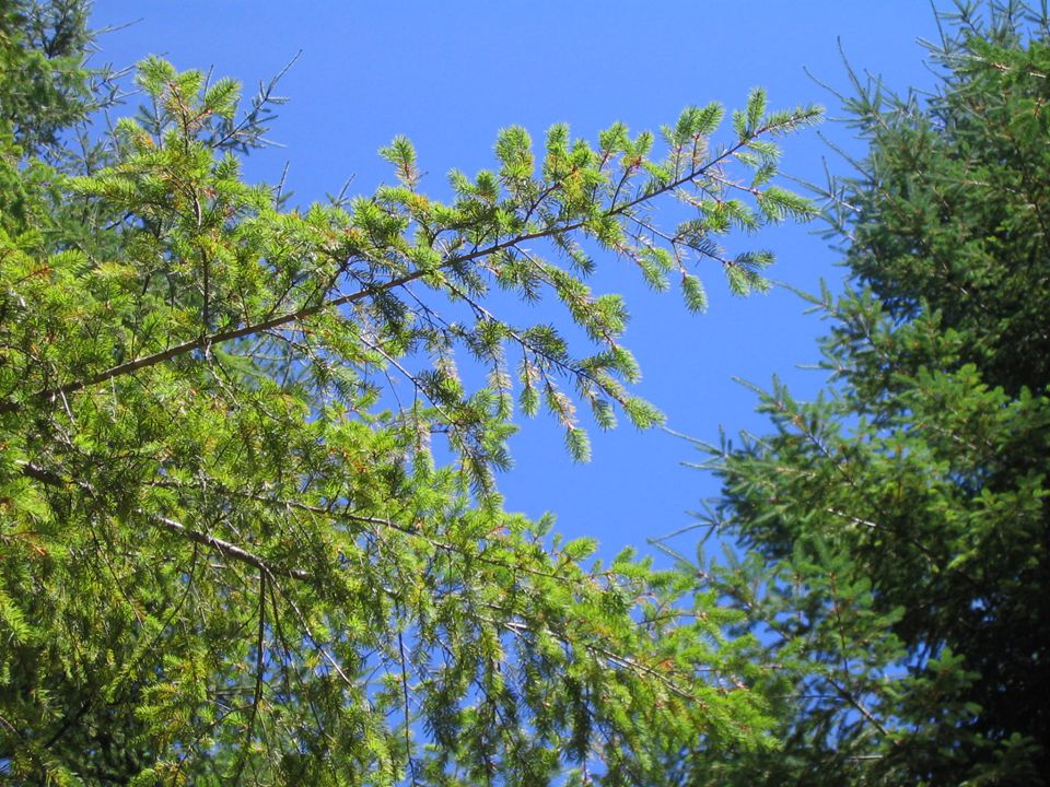 Three treatments: 1.Sulfur 2.Sulfur and nutrients 3.Control 10 plots/treatment 4 Trees/plot (40 trees per treatment, 120 total)