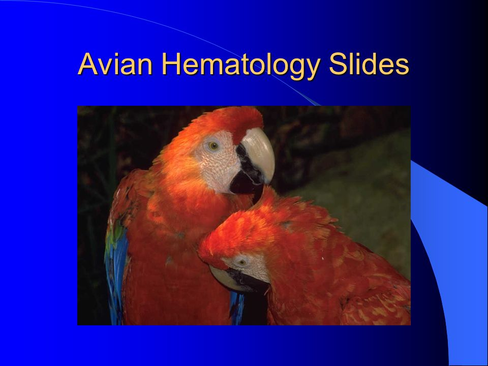 Avian RBC maturation-The younger cells are smaller, rounder and have a more basophilic cytoplasm.
