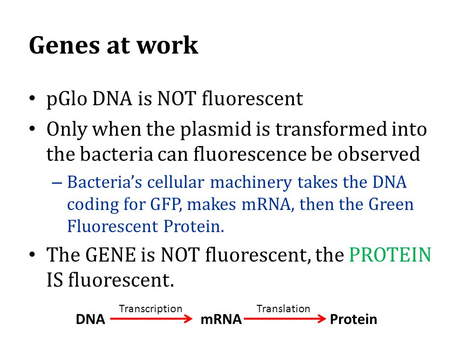 Genes at work pGlo DNA is NOT fluorescent Only when the plasmid is transformed into the bacteria can fluorescence be observed – Bacteria's cellular machinery takes the DNA coding for GFP, makes mRNA, then the Green Fluorescent Protein.